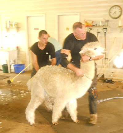 White alpacas get shorn first