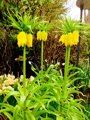 lily(0.0), wildflower(0.0), daylily(0.0), fritillaria imperialis(1.0), flower(1.0), yellow(1.0), plant(1.0), flora(1.0), green(1.0),