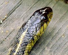 hognose snake(0.0), garter snake(0.0), mamba(0.0), animal(1.0), serpent(1.0), snake(1.0), reptile(1.0), macro photography(1.0), fauna(1.0), close-up(1.0), scaled reptile(1.0), wildlife(1.0),