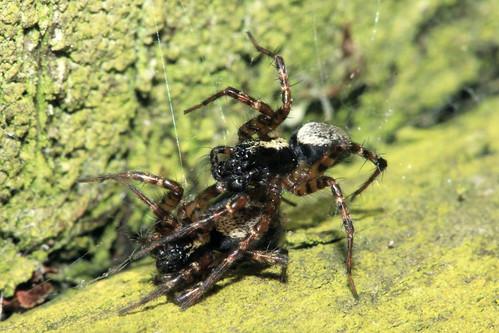 Spider 8982