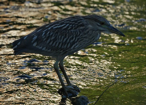 Juvenile Black-Crowned Night Heron by Mike's Birds