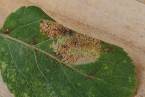 Phyllonorycter blancardella mine on Apple