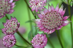 ASTRANTIA 'Bloody Mary'