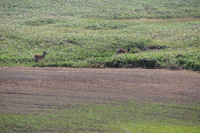 稚内へ向かうオロロンで鹿 その3
