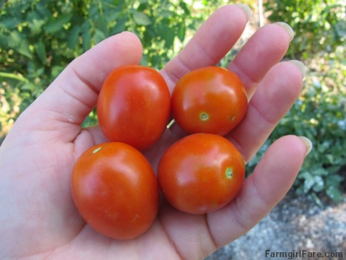 (18-6) The first ripe tomatoes are tasty little mystery volunteers - FarmgirlFare.com
