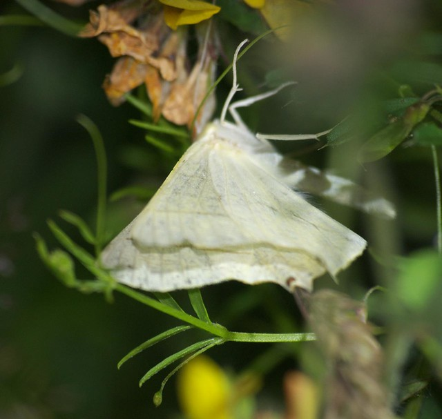 Swallow-tailed moth DSC_4109