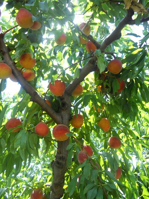 peach12