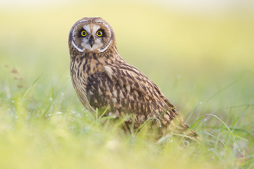 Short-eared Owl in the Dewey Grass by Jeff Dyck