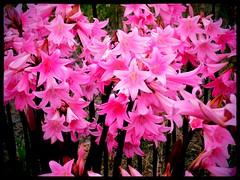 amaryllis belladonna, flower, flora, pink, petal,