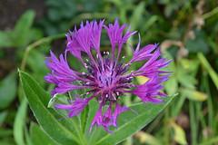 CENTAUREA montana 'Violetta'