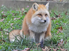 animal, german spitz, mammal, fauna, finnish spitz, red fox, dhole, wildlife,