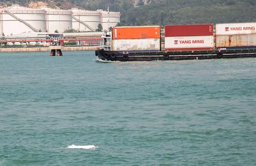 密集的航運和許多工程,都在白海豚棲地進行,污染、噪音干擾,影響白海豚生存。攝影:黃摳呢
