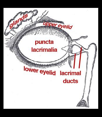 lacrimal-apparatus