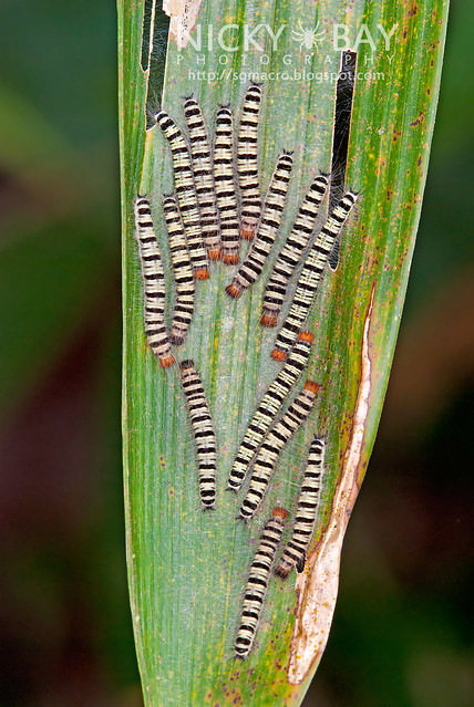 Skipper larvae (Coeliadinae) - DSC_7325