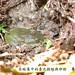 李承恩_在蛙巢中的臺北樹蛙與卵粒