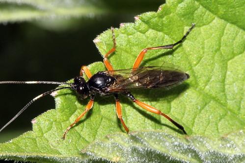 Ichneumoninae  6307