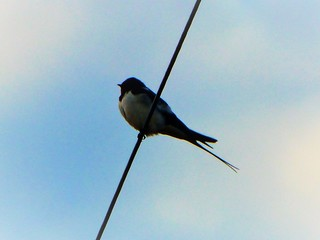 Swallow's arrived..x