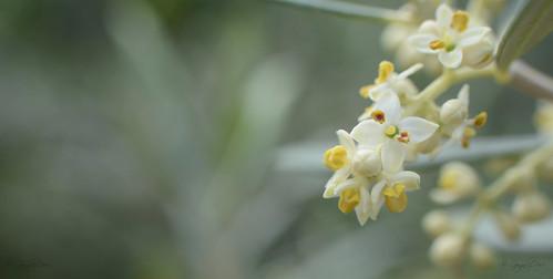 Olivo en flor