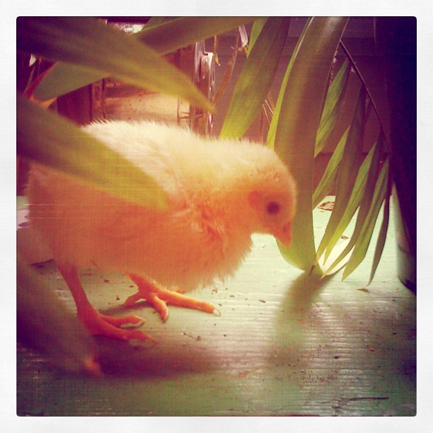 White Leghorn ball-of-fluff chick
