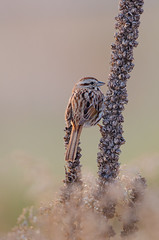 Song Sparrow-2072.jpg by Mully410 * Images