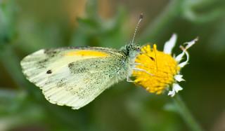 Dainty Sulphur (butterfly)