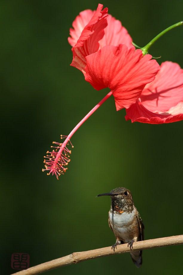Hibiscus & Alla's Hummingbird041812
