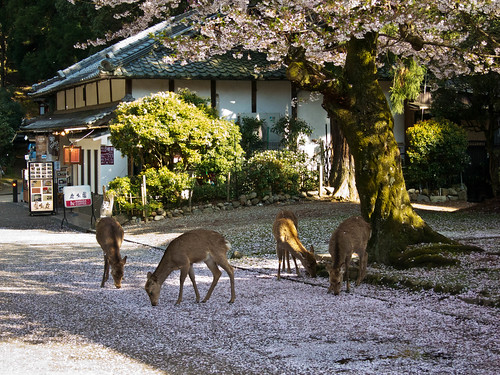 The deer of Nara are hungry