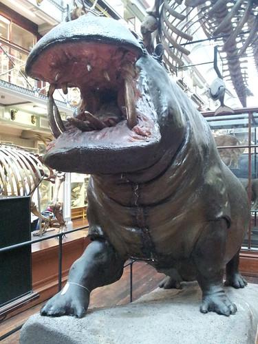 Hippo missing teeth