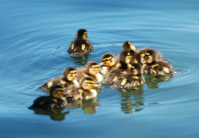 mall duckling_0101