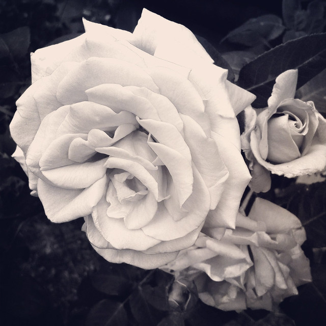 A Rose Without Colour