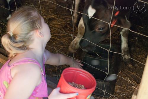 c-feeding cows