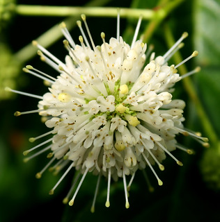 Buttonbush blossoms