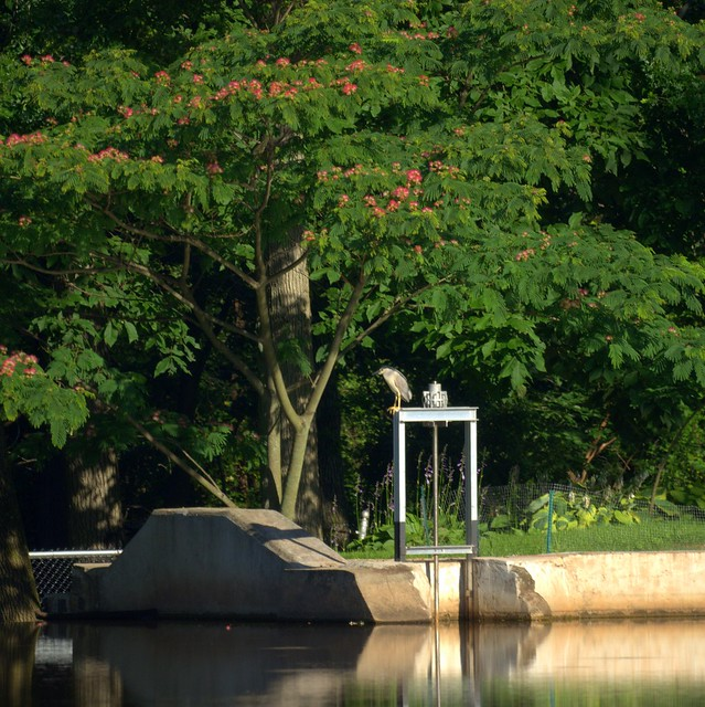 Night Heron at Dam