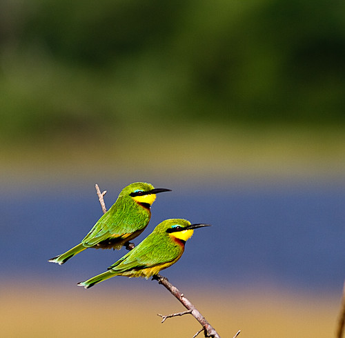 Little bee-eaters by Nydiaso.