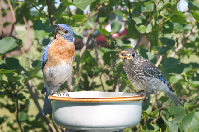 eastern bluebird houses eastern bluebird food eastern bluebird house plans eastern bluebird facts eastern bluebird migration eastern bluebird pictures eastern bluebird song eastern bluebird nest young mealworms worms