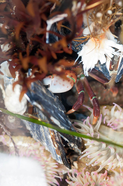 Purple shore crab (Hemigrapsus nudus