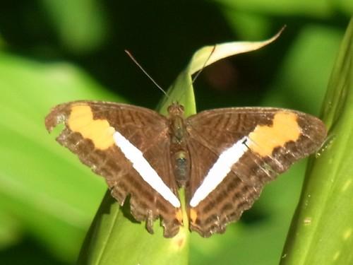 Adelpha serpa