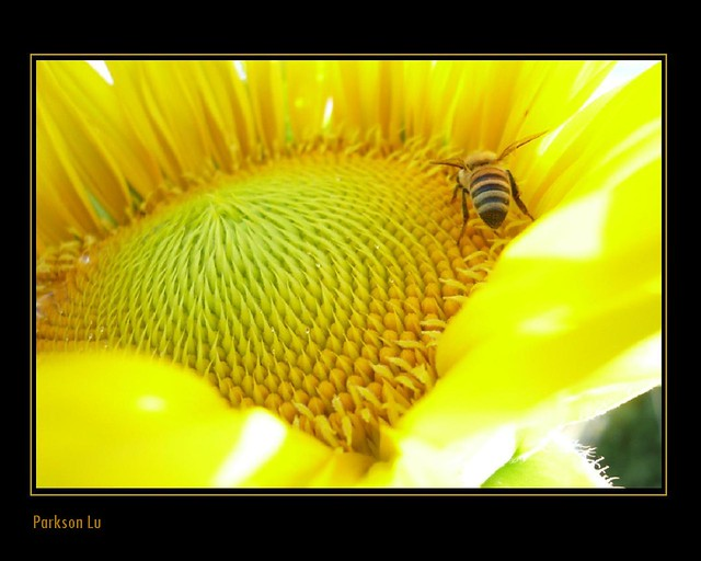 sunflower with a  busy bee working on it...