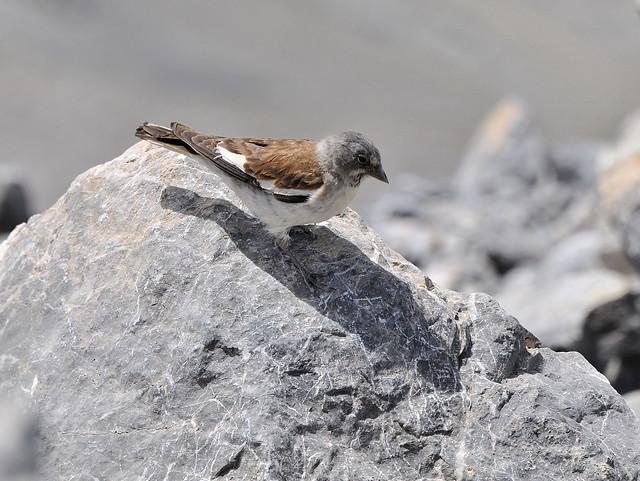 Montifringilla nivalis / gorrión alpino.