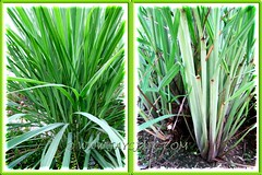 Cymbopogon citratus {Lemon Grass, Lemongrass, Barbed Wire Grass, Citronella Grass, Silky Heads, Serai (in Malay)} in our garden, May 29 2011