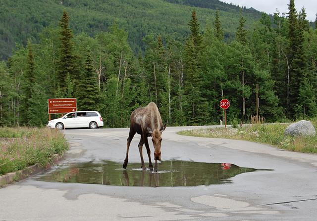 moose-denali