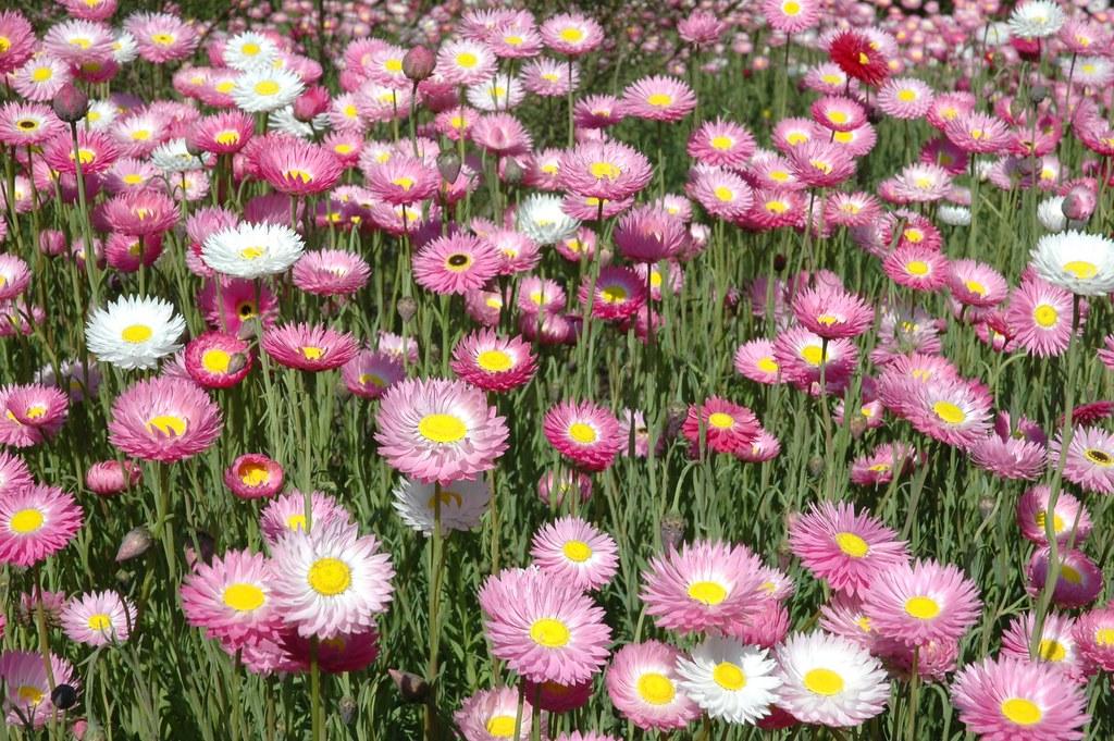 Spring Annuals Photo D Blumer.JPG