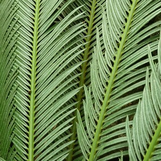 Chicago, Lincoln Park Conservatory, Green Fern Foliage