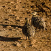 Small photo of Sandgrouse Pair