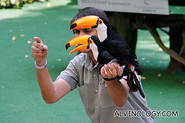 Trainer giving instructions to his two hornbills