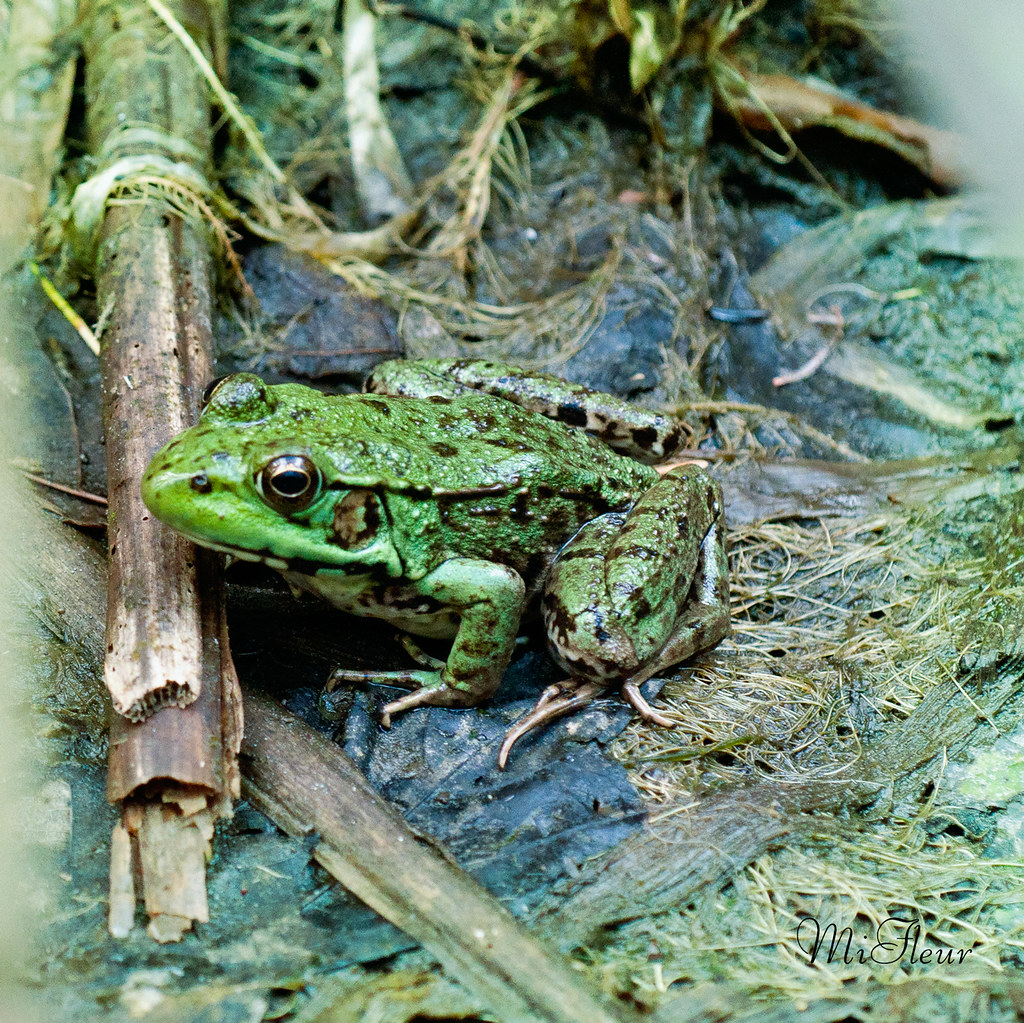 green frogs c u0026c welcome photography forum