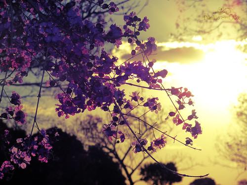 Purple Ipe