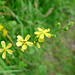 Small photo of Agrimony. Agrimonia eupatoria.