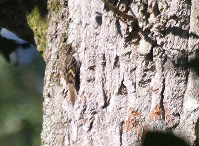 DSC_4435 Treecreeper