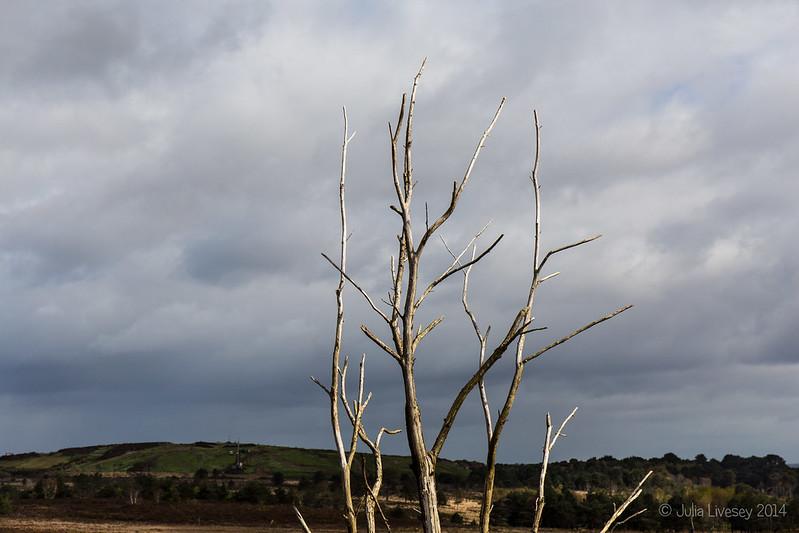 Dead Silver birch in the sun